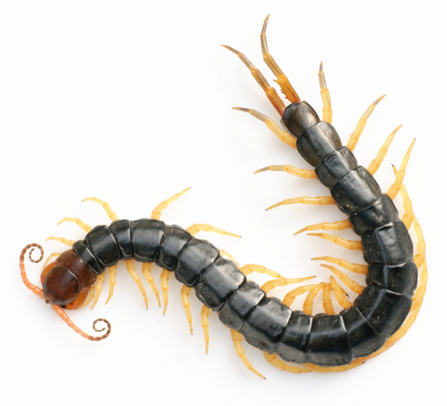 Photo of a centipede
